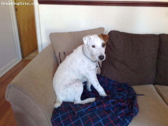 Parson Russell Terrier, 2, Mainly white, Just lounging on the sofa taking in a bit of TV.